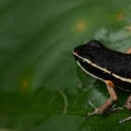 Brilliant-thighed Poison Frog in the rainforest