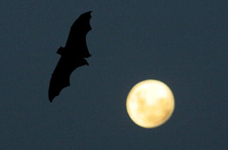 A grey-headed flying fox.  The typical bat silhouette isn't as common in big brown bats (at left).