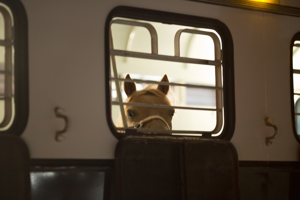 A horse is evacuated by trailer from the North Fire, which caused people to abandon their vehicles and flee as flames jumped the 215 freeway in the early morning hours of July 18, 2015 near Victorville, California.