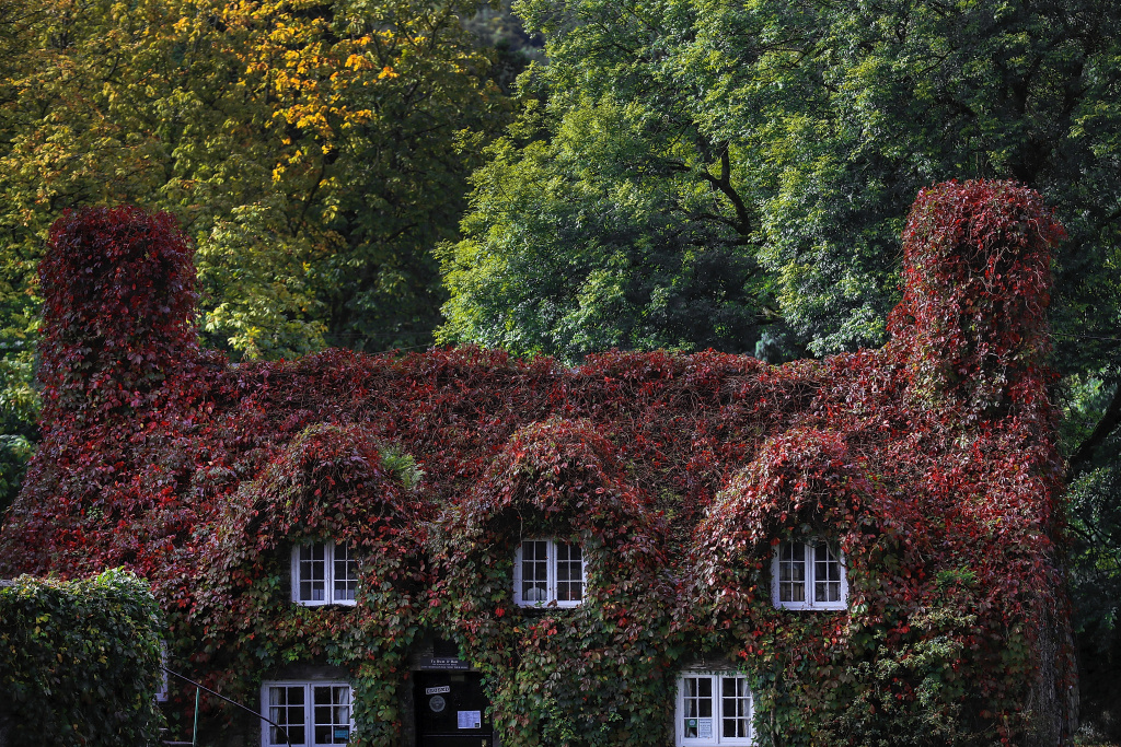 During a break from the rain of Storm Aileen, the leaves of the Virginia creeper begin to take on their Autumn colour at the Tu Hwnt i'r Bont tea room on the banks of the River Conwy at Llanrwst in north Wales on September 13, 2017.