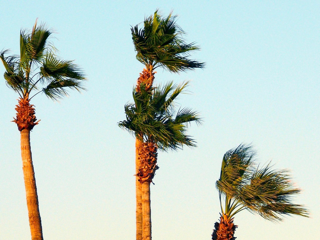Palm trees in the wind.