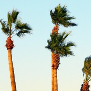 Santa Ana Winds palm tree red flag wind