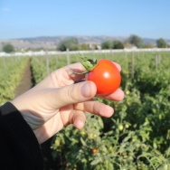 At Happy Boy Farms near Santa Cruz, Calif., Early Girl tomatoes are grown using dry farming methods. The tomatoes have become increasingly popular with chefs and wholesalers.