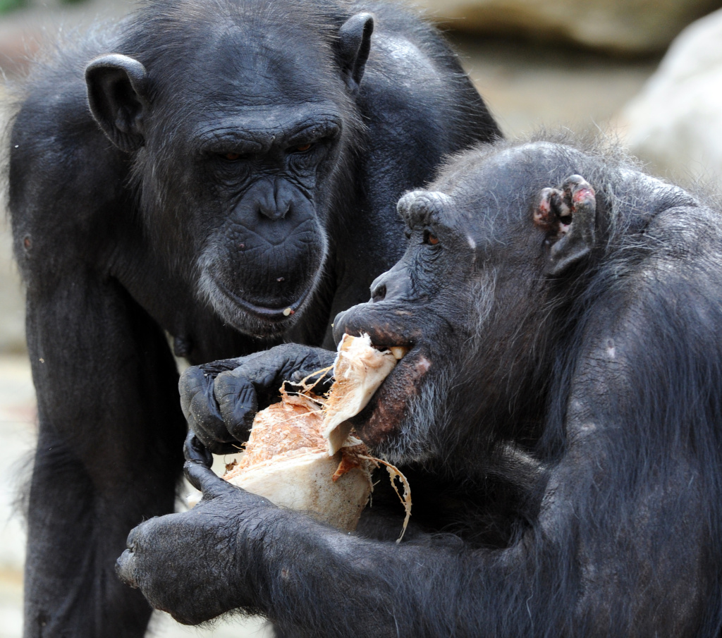 The Institute of Medicine has released a highly anticipated report that sets new guidelines for research on chimpanzees.