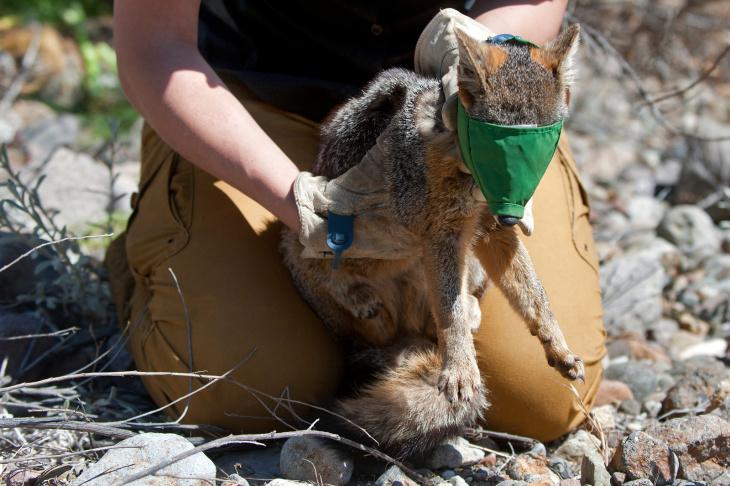 Santa Cruz Island Fox Recovery - 5