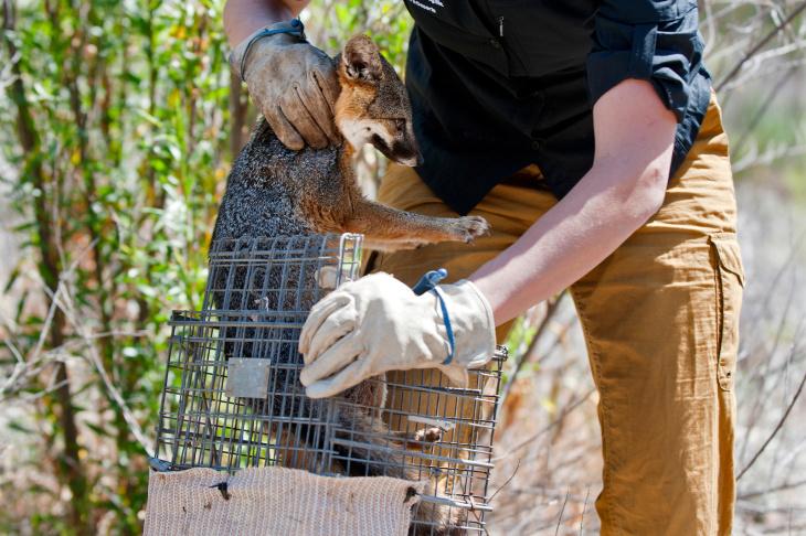 Santa Cruz Island Fox Recovery - 4