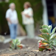A newly-installed Kalanchoe, a type of drought-tolerant succulent plant, is seen in the front yard of a residence in the San Fernando Valley area in Los Angeles on July 17, 2014.