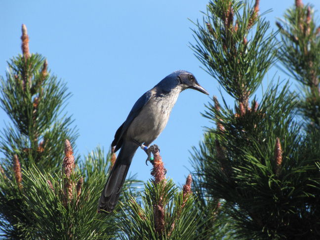 A Scrub-Jay on Santa Cruz Island.