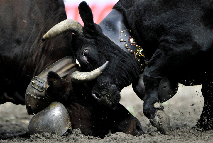 Two bulls fight in Switzerland's Battle of the Queens event.