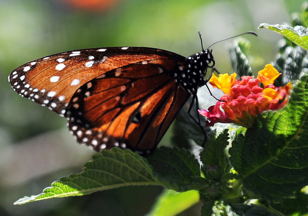 File: A butterfly is seen at the Los Angeles Natural History Museum on April 8, 2011 during the opening day for members at the Butterfly Pavilion.