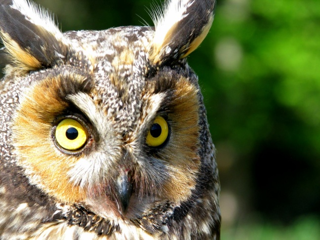 This undated image provided by Explore.org shows a long-eared owl chick perched in a Montana willow tree. Explore.org's