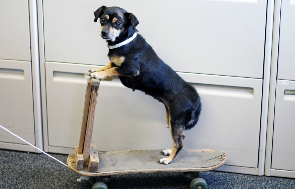 This undated photo released by the County of Los Angeles Department of Animal Care and Control shows Chiquita, a 6-year-old Chihuahua, who was turned in to the Animal Care Center in Baldwin Park, Calif. Chiquita needs a new home in Southern California.