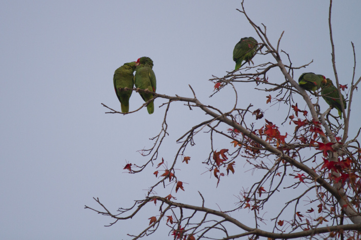 Parrots in South Pasadena