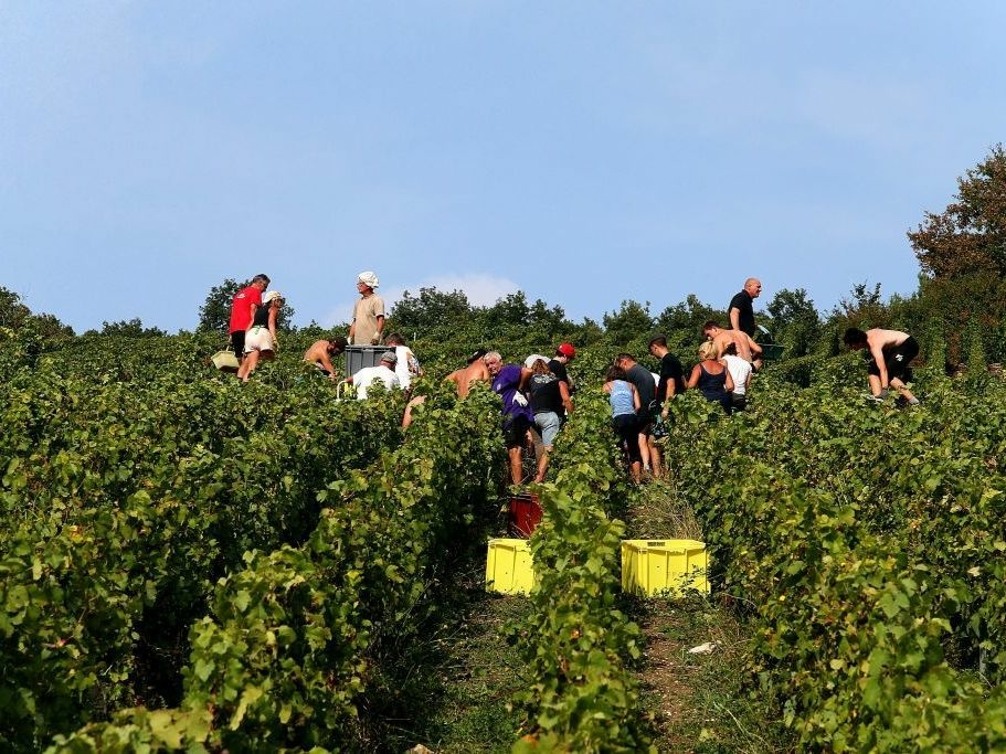 The champagne grape harvest in northeastern France, like this one near Mailly-Champagne, started early this year due to lack of rain.