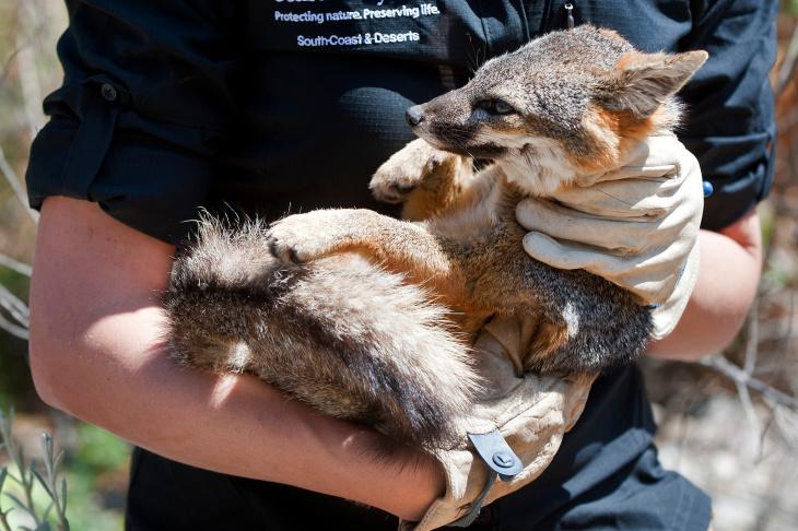 Santa Cruz Island Fox Recovery - 7