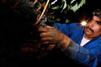 A field worker with the vineyard management company 'Vinewerkes' uses a knife to pick merlot grapes during a night harvest for Artesa Winery October 1, 2007 in Napa, California.