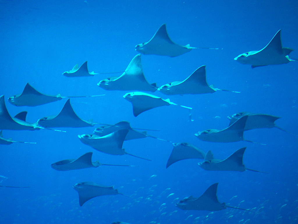 Each year, 6 to 8 percent of the global population of sharks and rays gets caught, scientists say.