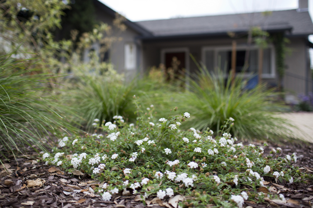 The turf outside this Pasadena home was transformed into a drought-friendly yard using the Metropolitan Water District's Cash for Grass program in October 2014. But should Uncle Sam be able to tax that cash?