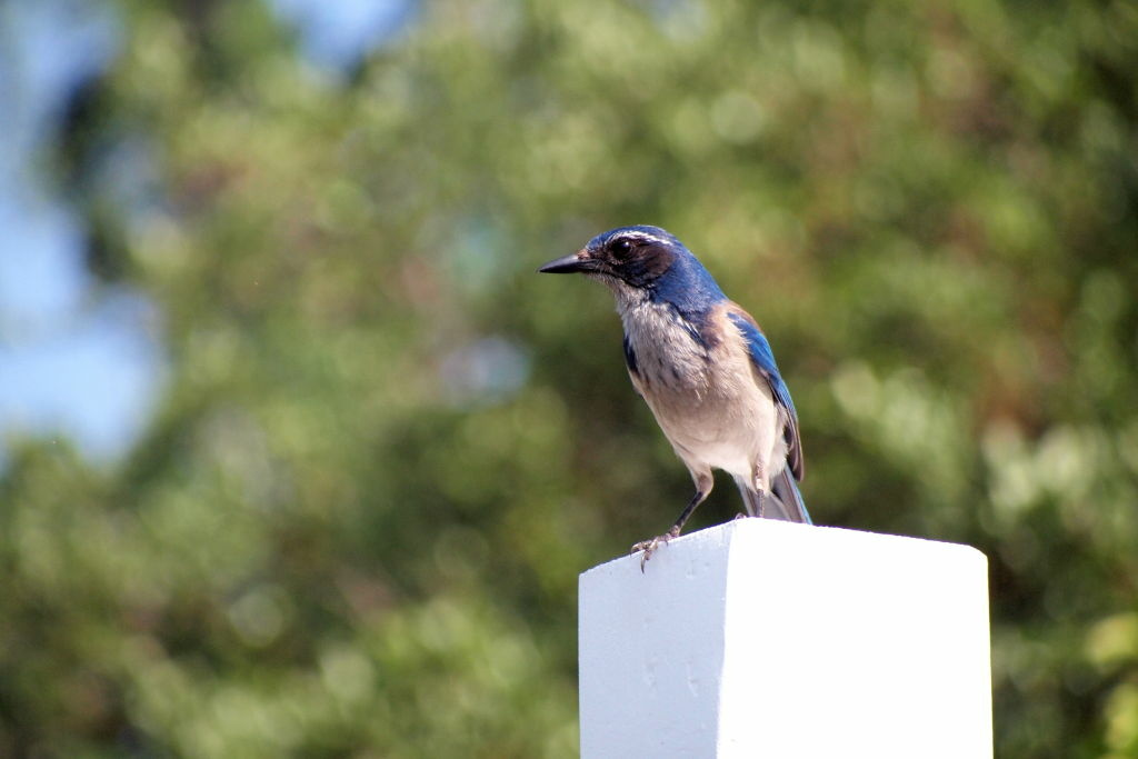 The western scrub jay is a species that holds