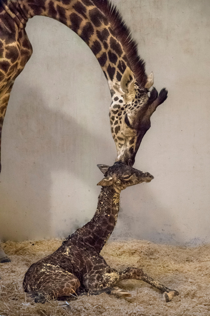 The L.A. Zoo welcomed a newborn female Masai giraffe in early November, and starting Monday, Nov. 28, you can also feed her and the other animals.