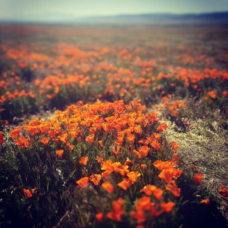 The Super Bloom in Antelope Valley in April 2016.