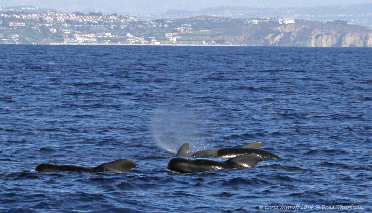 Pilot whales visited Southern California waters in unusually high numbers during 2014.