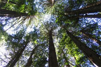 Coastal redwood forest Muir Woods, California - March 2008