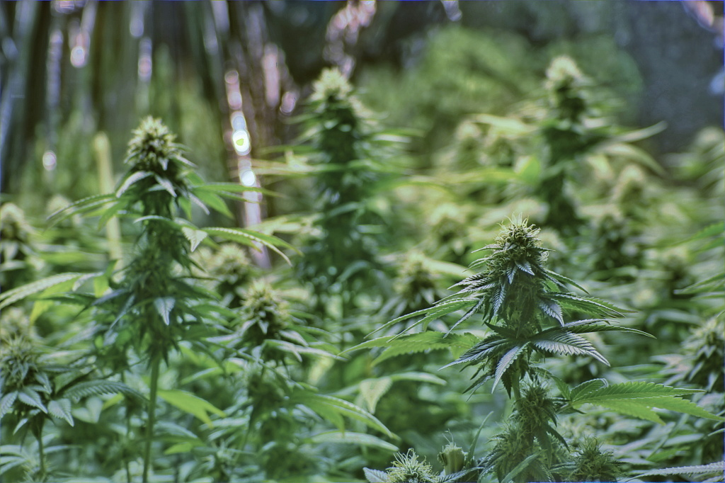 Indian tribes must follow the same federal conditions given to states that have legalized pot.