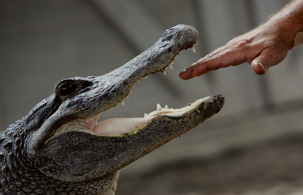 Tom Batchelor puts his hand in the mouth of an alligator during a wildlife show at the Gator Park in the Florida Everglades n Miami-Dade County.