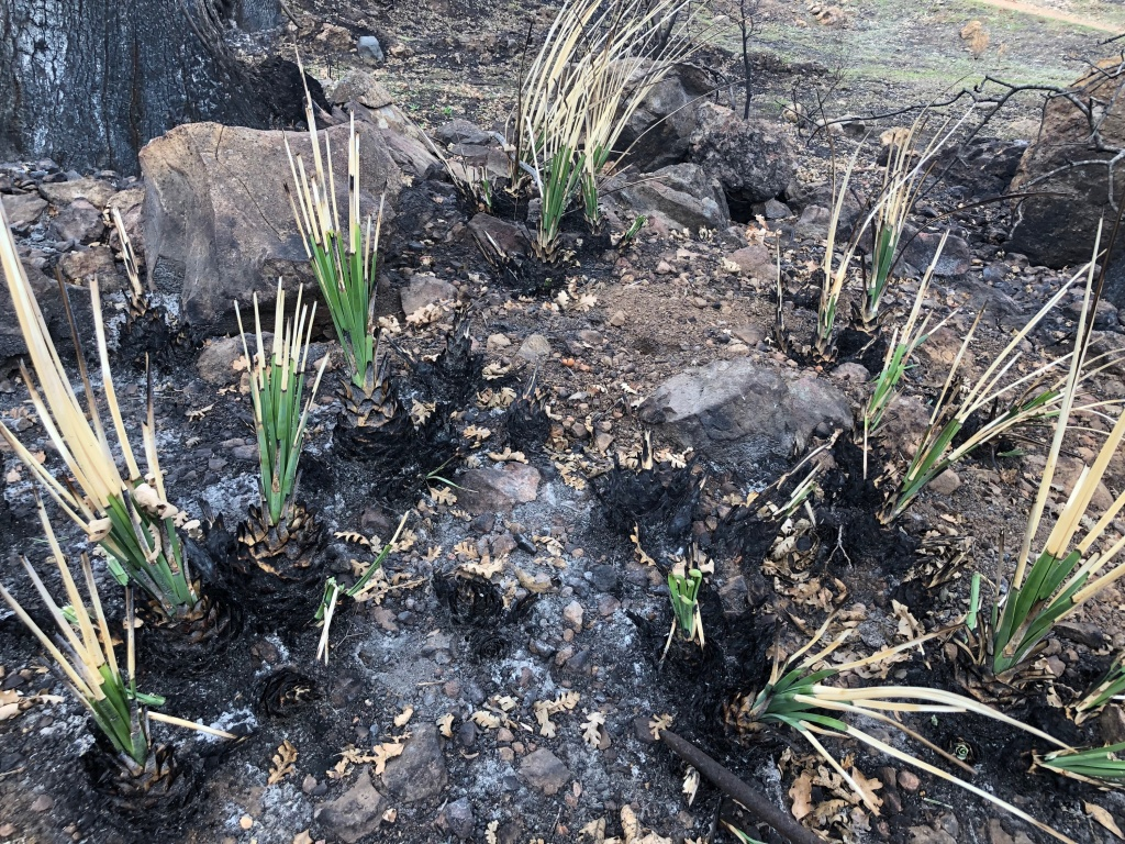Native yucca plants are sprouting green leaves again beneath tips deadened by the Woolsey Fire.