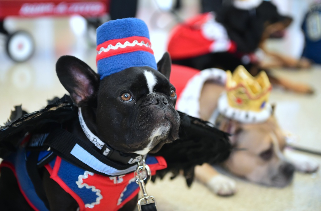 French bulldog Serjio was one of many dogs in costume at LAX on October 28, 2016.