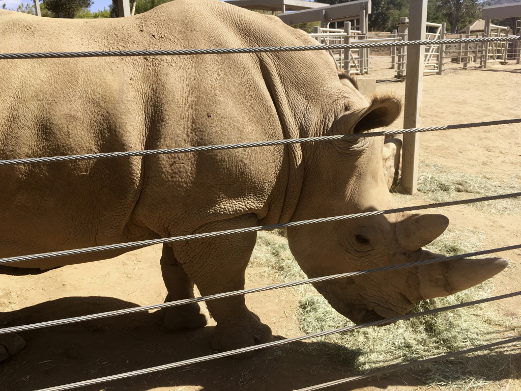 This photo shows Victoria, a pregnant southern white rhino, Thursday, May 17, 2018, at the San Diego Zoo Safari Park in Escondido. The rhino, which has become pregnant through artificial insemination at the park, is giving hope for efforts to save a subspecies of one of the world's most recognizable animals, researchers announced Thursday.