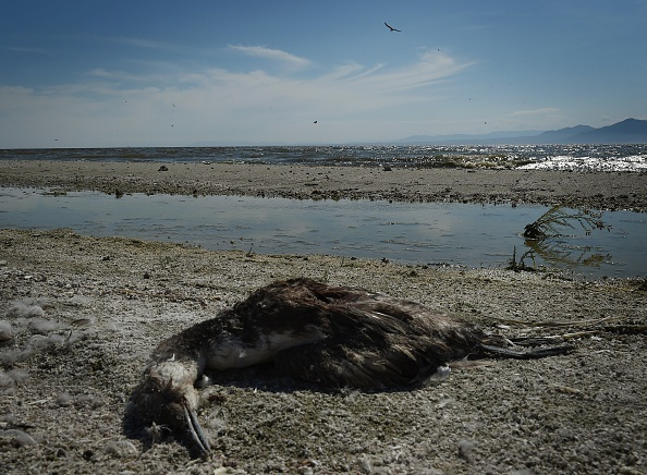 A dead bird lies on the shore next to the North Shore Yacht Club at the Salton Sea on March 19, 2015.