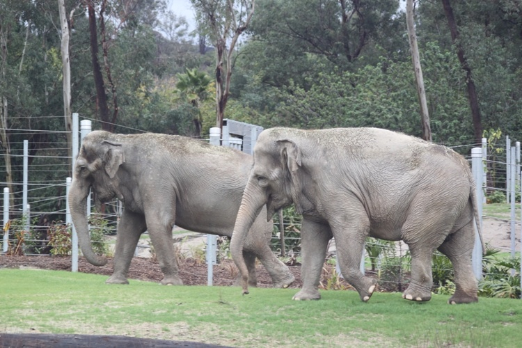 Tina and Jewel, the two elephants in the enclosure.