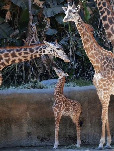A female Masai baby giraffe born July 11, mingles with older giraffes in her inclosure during its public debut at the Los Angeles Zoo, Wednesday, July 26, 2017. Still without a name, the giraffe already stands about six feet tall and weighs 156 pounds. It's the second baby born to mother Zainabu and father Philip. (AP Photo/Richard Vogel)