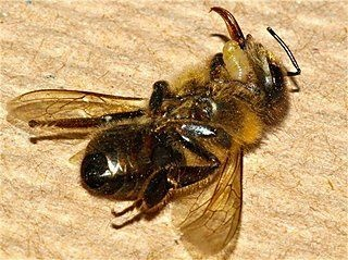 In this photo provided by San Francisco State University, the larvae of an Apocephalus borealis fly emerges from the dead body of a host honey bee. The A. borealis fly is suspected of contributing to the decrease in the honey bee population.