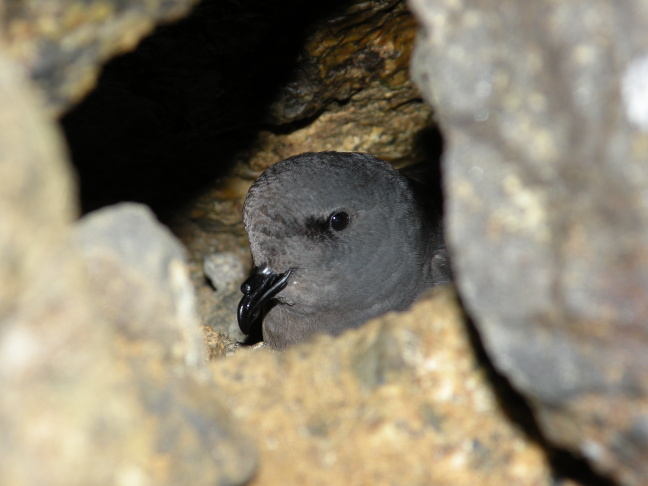 The rare Ashy Storm-Petrel nests in rock crevices, returns to breeding islands at night, and feeds far out to sea during the day.