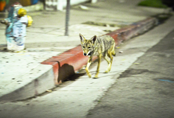 Coyote C144 walks in a neighborhood near downtown Los Angeles early Thursday morning June 4th.   National Park Service Ecologist Justin Brown tracks coyotes living near downtown Los Angeles late Wednesday night June 3 and early Thursday morning June 4, 2015, in Los Angeles, CA. Some of the coyotes are fitted with radio collars.