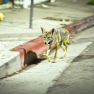 Urban Coyotes - 1