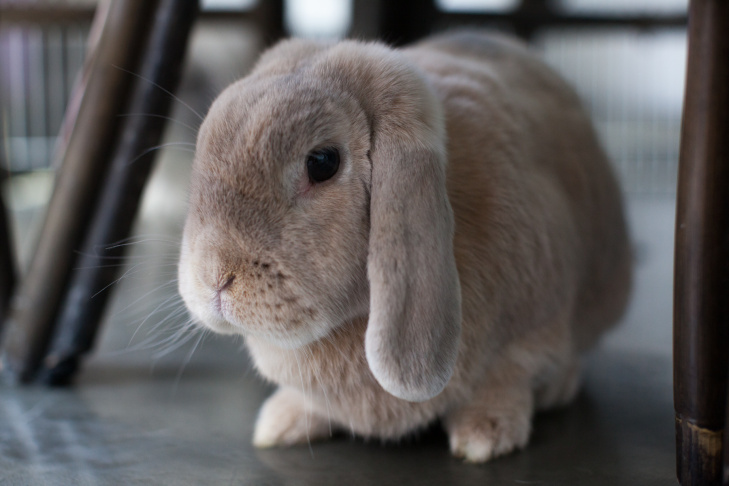Lola is one of two adult bunnies in Hadzimuratovic's Silverlake apartment.