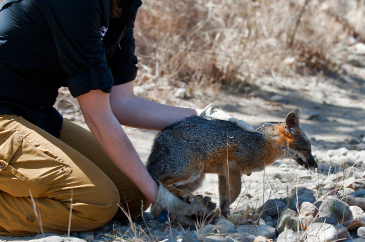 Christie Boser, a biologist with The Nature Conservancy, performs a routine health check on a Santa Cruz Island Fox. In 2004, the fox became an endangered species after the population on the island fell from 1,500 to 15.