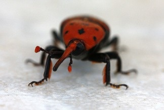 Close up of the red palm weevil.