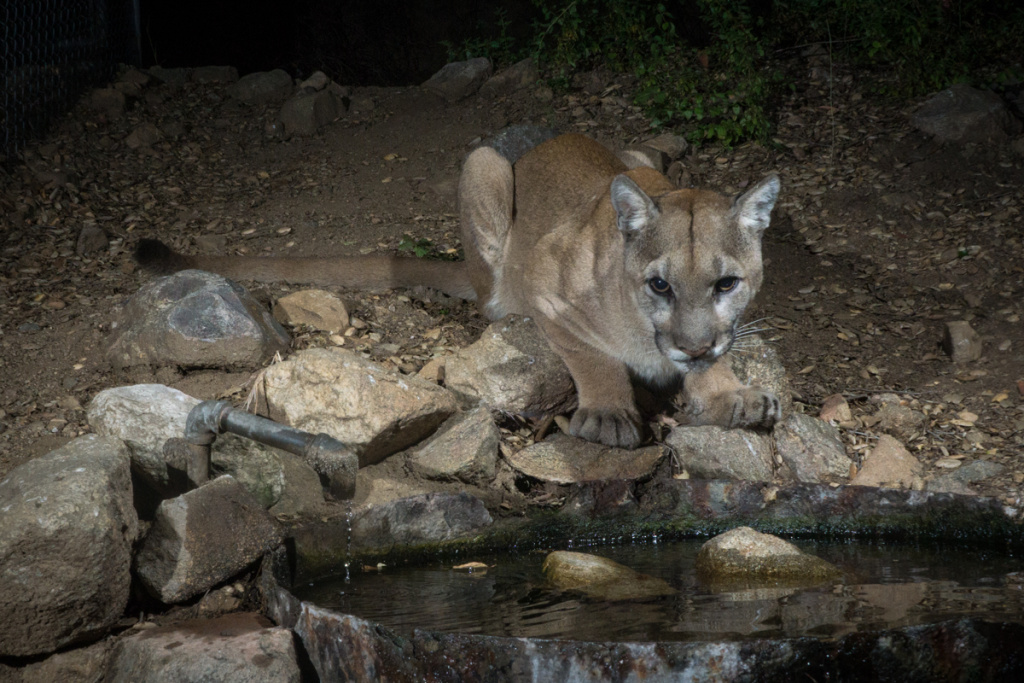 The new male mountain lion, affectionately called Adonis, in the Verdugo mountains.
