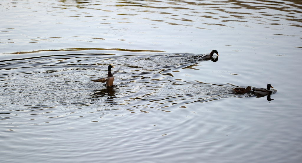 Wildlife use the Los Angeles River looking for food on November 17, 2010 in Los Angeles, California.