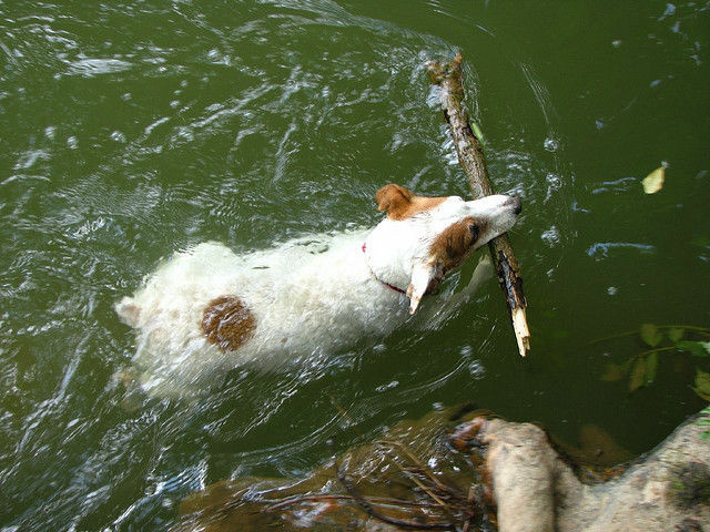 A puppy jumps in the water to fetch a stick, keeping cool while playing. How do you beat the heat?