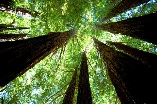 """Redwood cathedral"" at Big Basin State Park in California"