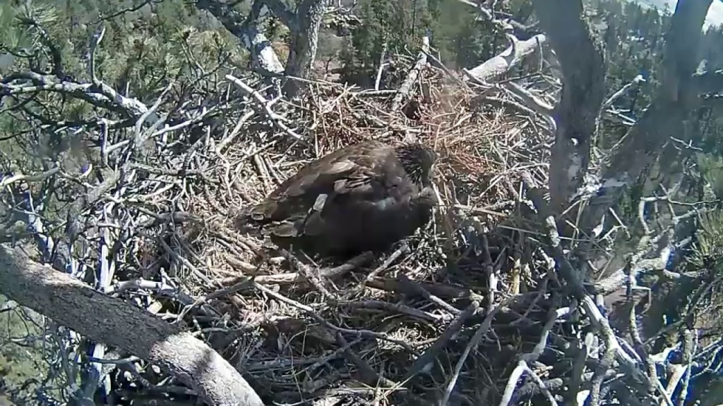 A live view of the bald eagle nest at Big Bear Lake. The nest is on the San Bernardino National Forest.