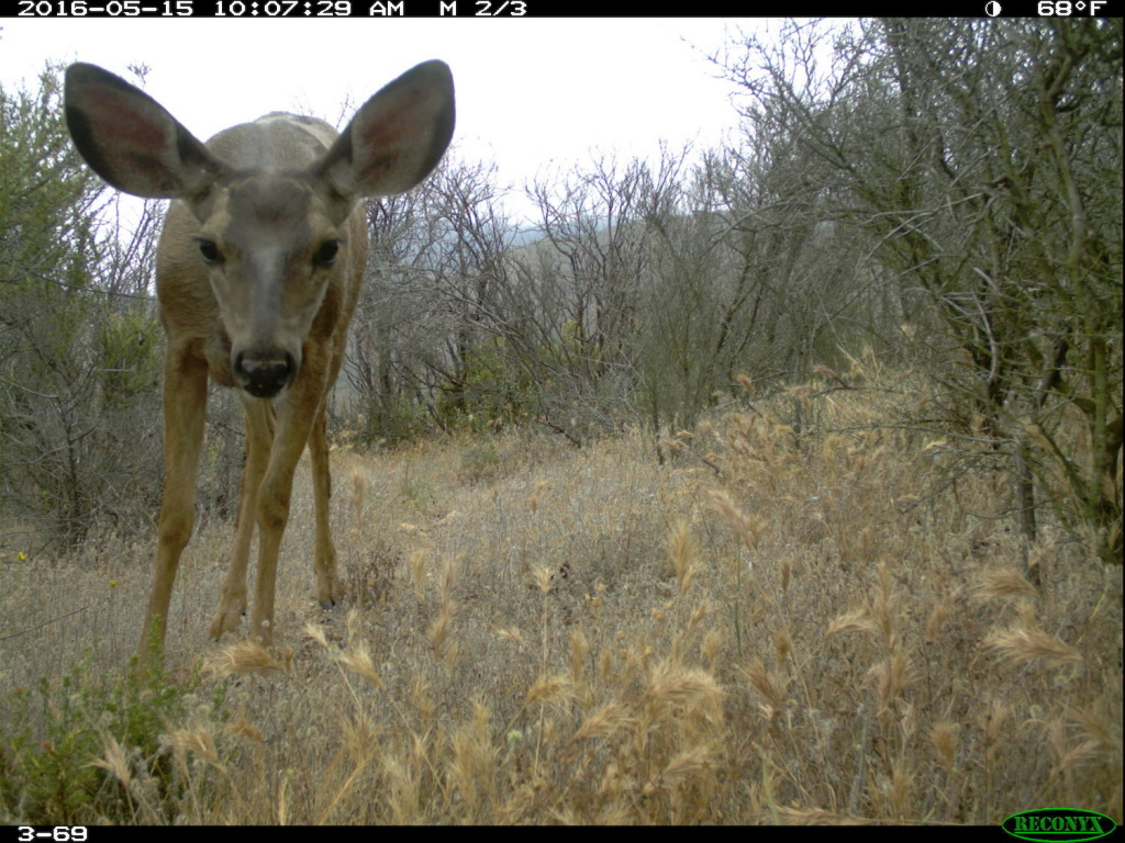 A mule deer is captured by a camera as part of the National Park Service's Springs Fire Wildlife Project. A year after the fire, mule deer were almost as common in burned areas as in non-burned areas.
