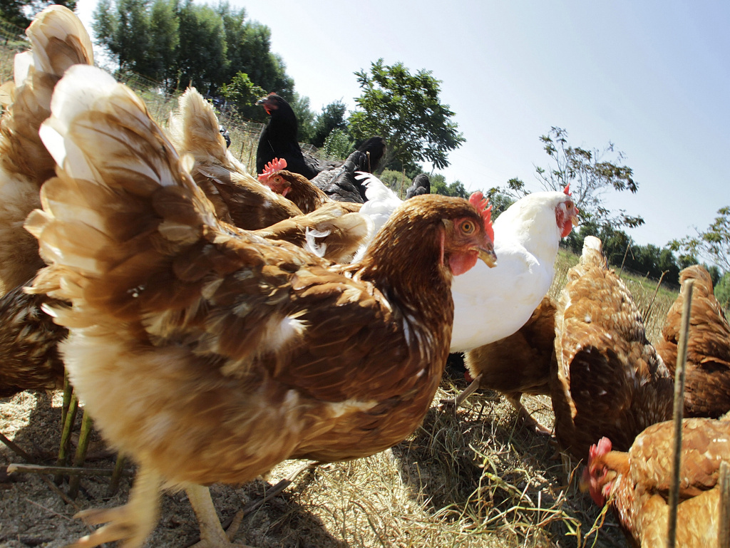 Free-range chickens feed in a pasture on an organic farm in Illinois.