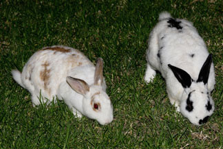 Rabbits eat the grass at Yellowstone Park in Wyoming on April 1, 2010
